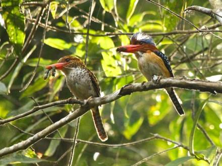South Thailand Bird Watching Tour 14D