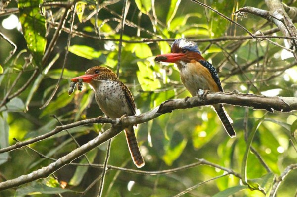 South Thailand Bird Watching Tour 14D